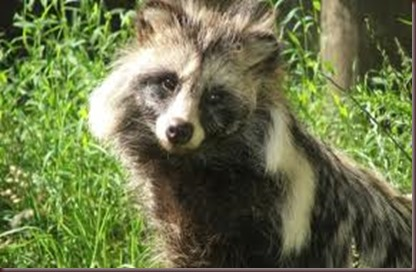 Amazing Animal Pictures Racoon Dog (6)