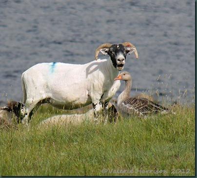 64-sheep-and-greylag