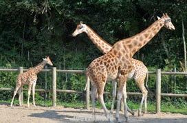 girafe de kordofan