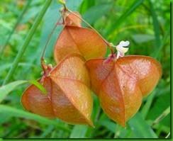 Cardiospermum_halicacabum