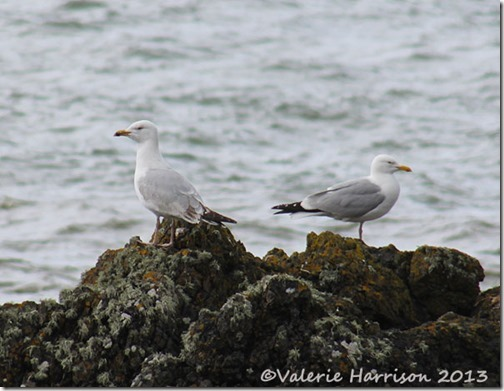 10-gulls