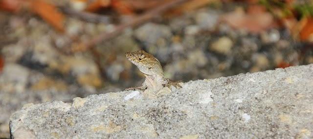 Collier Seminole Lizard