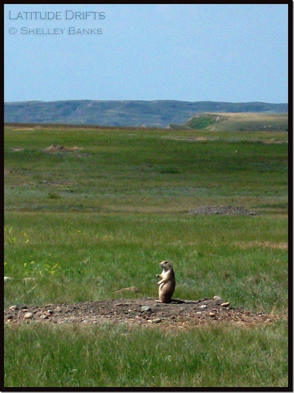 Prairie Dog late July Grasslands