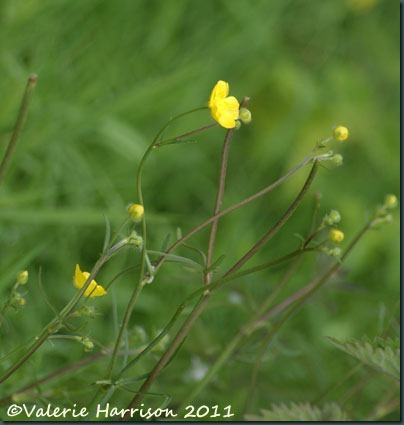 8-meadow-buttercup