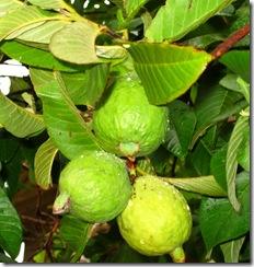 Tri Fruit Guava