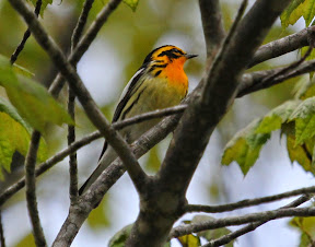 Stunning Blackburnian Warbler - RIGHT ABOVE OUR CAR in the parking lot!