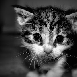 by Barry Van de Laar - Animals - Cats Kittens ( cats, animals, white, kittens, portraits, black )