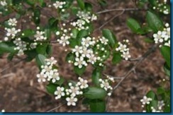 flowers of black chokeberry