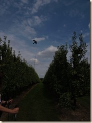 Borgloon: een vlieger als vogelschrik in een perenplantage
