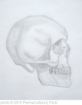 'study of a skull' photo (c) 2010, PermaCultured - license: http://creativecommons.org/licenses/by/2.0/
