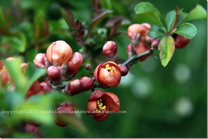 kwiaty pigwowca (2)
