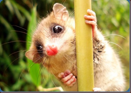 Amazing Animal Pictures Monito del monte (7)