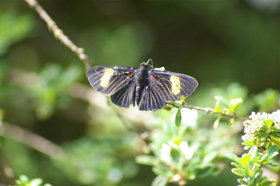 Riodinidae : Melanis aegates melliplaga STICHEL, 1910. Saut Athanase (Guyane). 21 novembre 2011. Photo : J.-M. Gayman