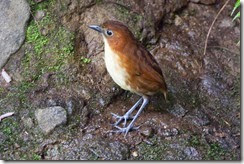 Yellow-breasted Antpitta-8D3E4093