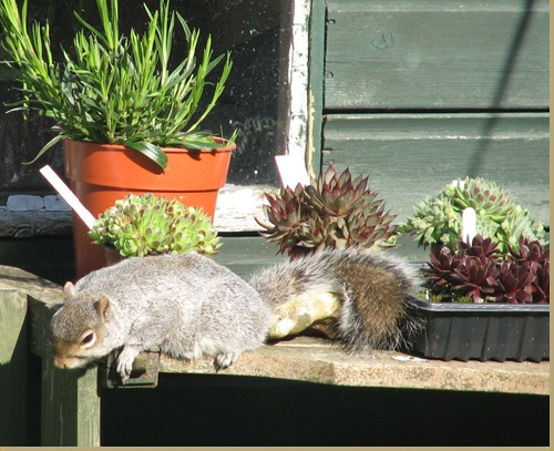 20120514 sleeping squirrel