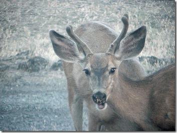 Buck staring