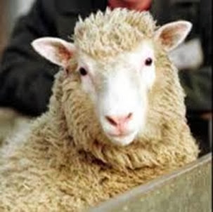 Amazing Pictures of Animals, Photo, Nature, Incredibel, Funny, Zoo, Mammals, Merino, Sheep, Alex (6)