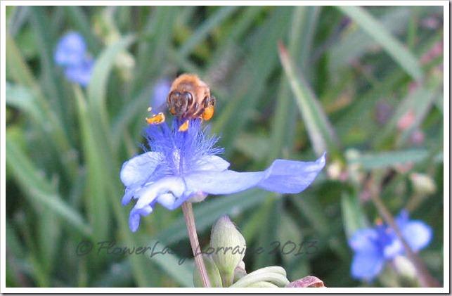 04-10-spiderwort