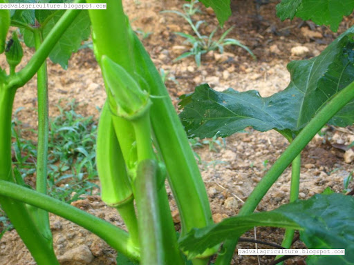Fruiting in Okra