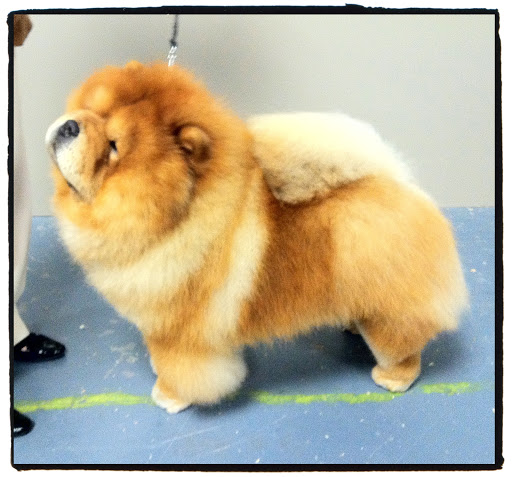 My dad, Maddox, is one handsome Chow Chow!  Like myself, his proportions are perfect!  (photo credit Joe Noel)