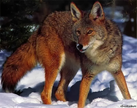 Amazing Pictures of Animals, Photo, Nature, Incredibel, Funny, Zoo, Coyote, Canis latrans, Alex (13)