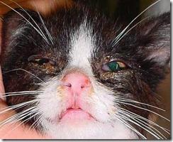 Herpesvirus kitten