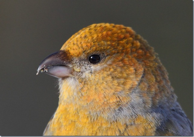 grosbeak_fem_closeup