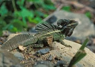 Amazing Pictures of Animals, Photo, Nature, Incredibel, Funny, Zoo, Common basilisk, Basiliscus basiliscus, Reptil, Alex (14)