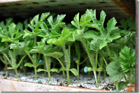 planting watermelons 032212 (96)