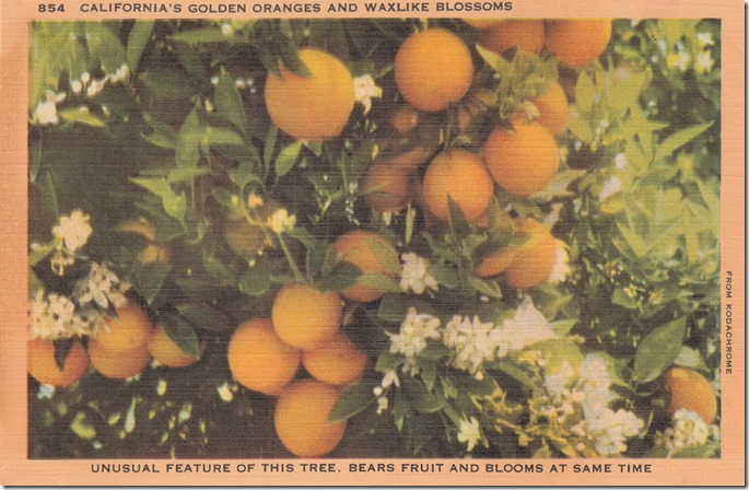 California's Golden Oranges and Waxlike Blossoms Pg. 1
