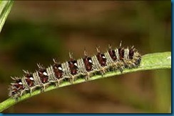 painted lady butterfly caterpillar