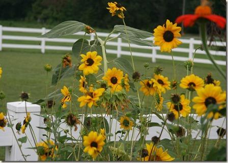 Sunny Babe Sunflower