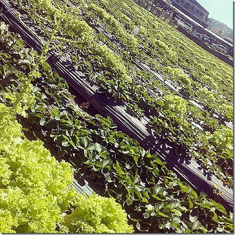 Lettuce Field at Strawberry Farm
