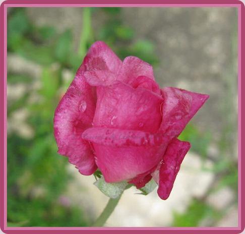 05-29-unkn-rose2