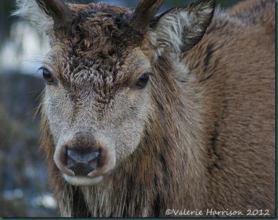10-red-deer