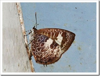Arhopala paraganesa mendava-MYFH_20110808_N146