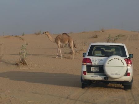 Dubai Desert Safari: intalnirea cu o camila