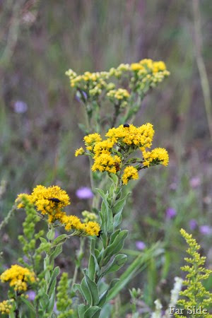 Stiff Goldenrod  or Solidago rigida