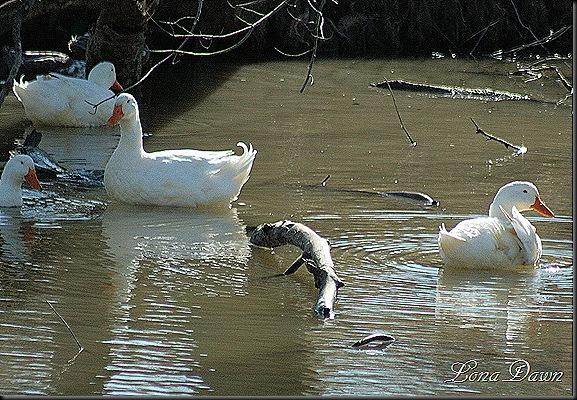 LL_Ducks_2012