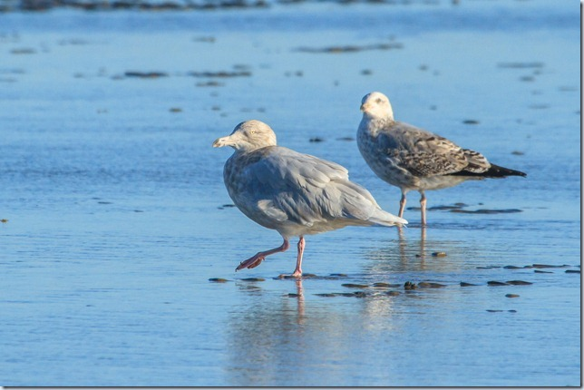 Dungeness_Glauc-1