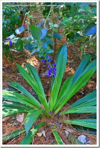 131230_UCBG_Beschorneria-septentrionalis- -Salvia-mexicana_001