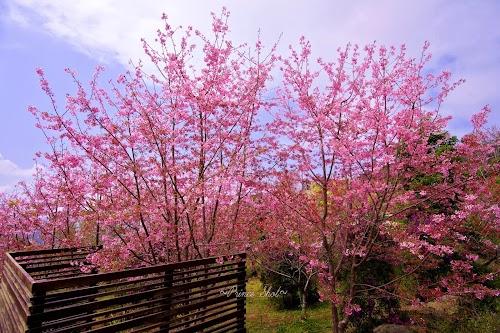 櫻花在臺灣嘉義阿里山_Cherry_blossom_-_Sakura_in_Alishan,_Chiayi,_TAIWAN.jpg