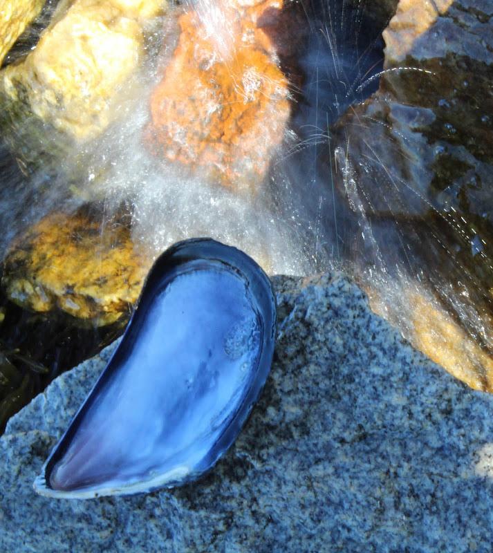Star Island mussel shell.jpg