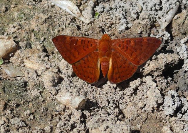 Emesis diogenia PRITTWITZ, 1865. Rive du Rio Teles Pires, município de Nova Canaã do Norte (Mato Grosso, Brésil), 11 juin 2011. Photo : Cidinha Rissi