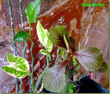 Synadenium grantii rosso e alcuni Pedilanthus