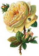 free-white-vintage-cabbage-rose-with-buds
