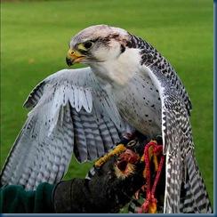 Hunting_falcon