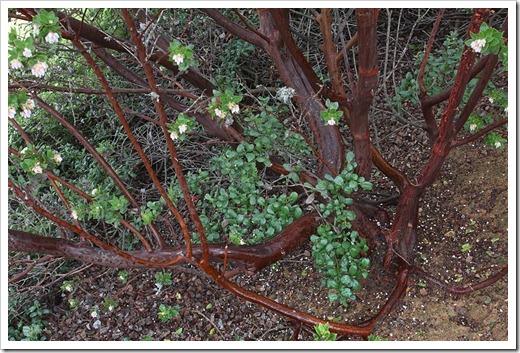 120211_UCSC_Arboretum_Arctostaphylos-montaraensis_02