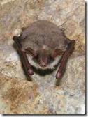 murciélago ratonero mediano