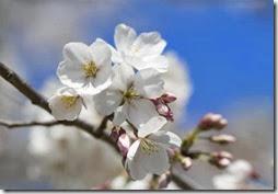 Floração das cerejeiras